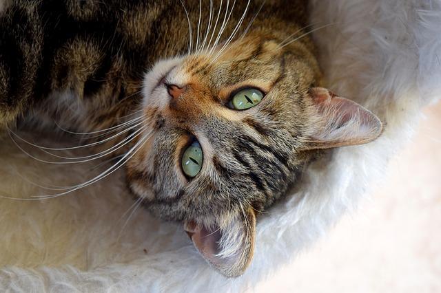 kočka na kožešince